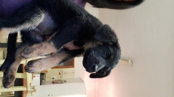 German Shepherd x Boxer Pups