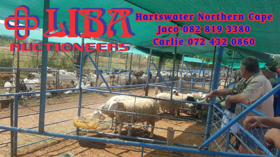 Livestock auction 1 November in Hartswater Northern Cape