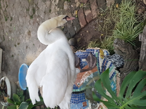 Male Swan for sale