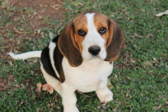 Beautiful Beagle Male for sale