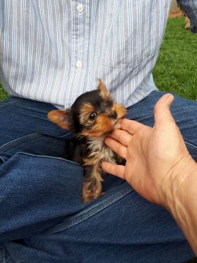 3 gorgeous pocket sized yorkie males still available, born 03/09/2017