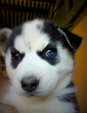 Male and Female, Husky Puppy, 6 weeks, only available at 8 weeks, price slightly neg