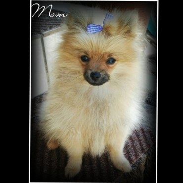 Purebred miniature Toypom male puppy