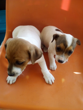 Jack Russel puppys