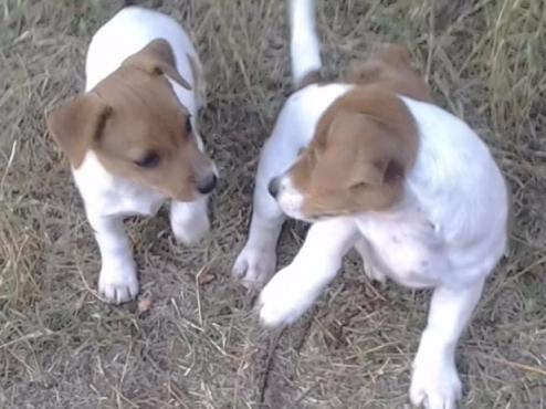 Jack Russell Canine registreerde bruin en wit kleintjies R999