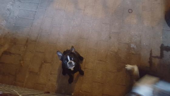 Boston Terrier Female