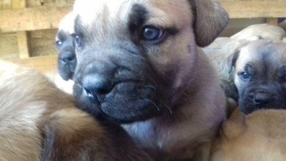 Pure Bred Bullmastiff Puppies for Sale