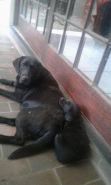 Pure Bred Labrador Puppies