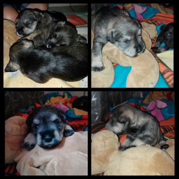 Miniature Schnauzers Puppies