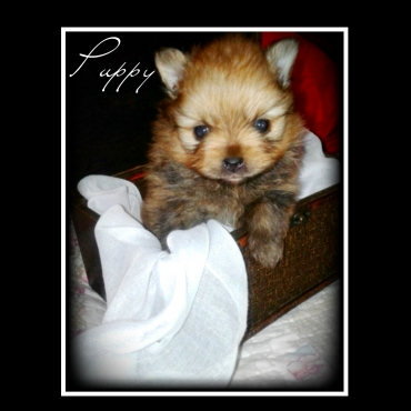 Miniature Pomeranian Toypom male puppy