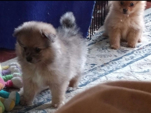 Furry Fluffy Pomeranian Puppies