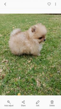 Very Small Toypom puppy