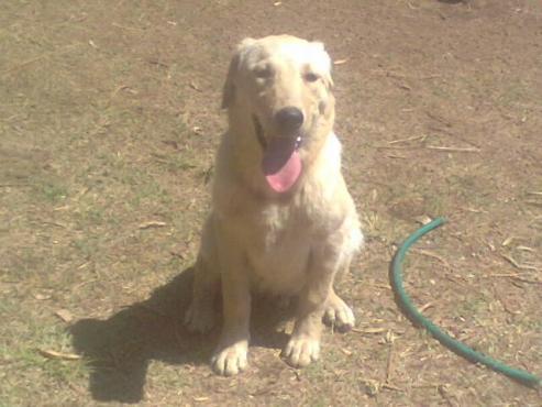 Purebred Labrador puppy
