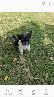 Small Biewer Yorkie puppy