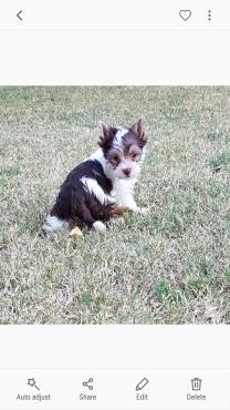 Biro Yorkie puppy