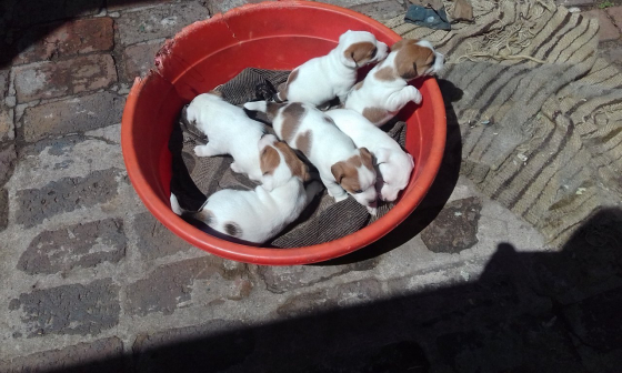 Jack Russell's  puppies