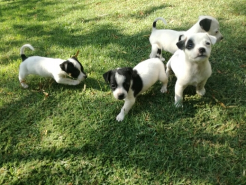 Fox Terrier Pups