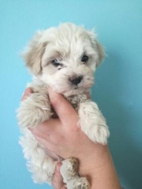 Maltese mini puppies