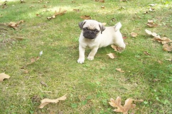 3 Exceptional Pug Puppies