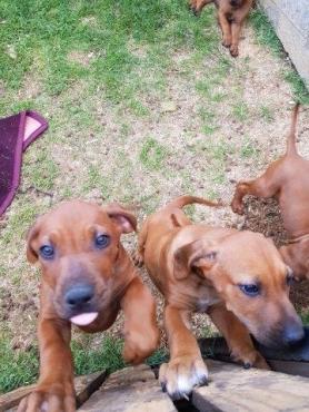 Rhodesian Ridgeback puppies available