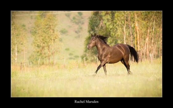 Cinrick Zalikha: Percheron/Friesian x quarter horse mare