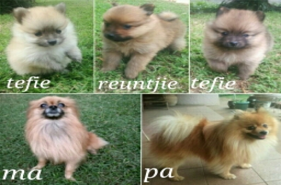 Toypom puppies 1male&2female