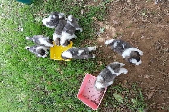 Awesome St. Bernard puppies