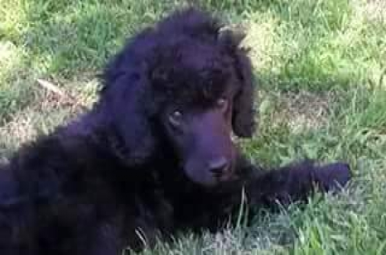 Bearlemo Miniature French Poodle Puppies for Sale