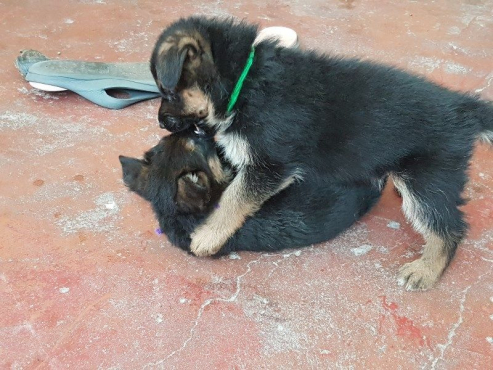 German Sheperd Puppies - champion bloodline GSFD registered for sale