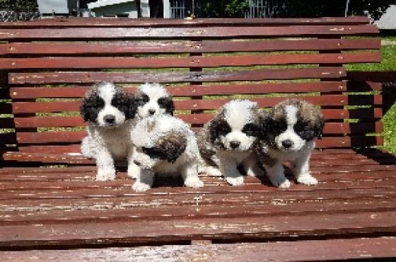 St Bernard puppies