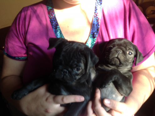 Pugs fawn and black