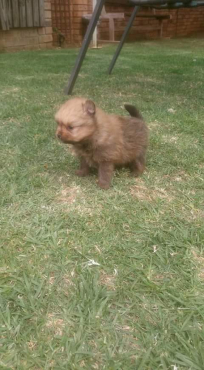 Purebred miniature Toypom male
