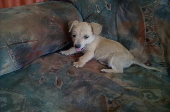 Yorkie x Miniature Dachshund puppy