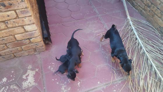 Minature Dobermund Puppies