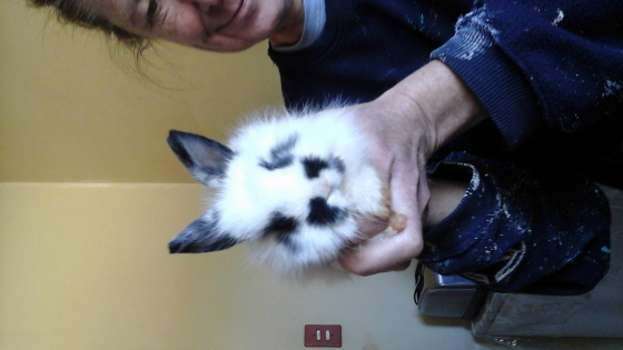 Gorgeous Jersey Woolly (Angora Dwarf) rabbits available immediately