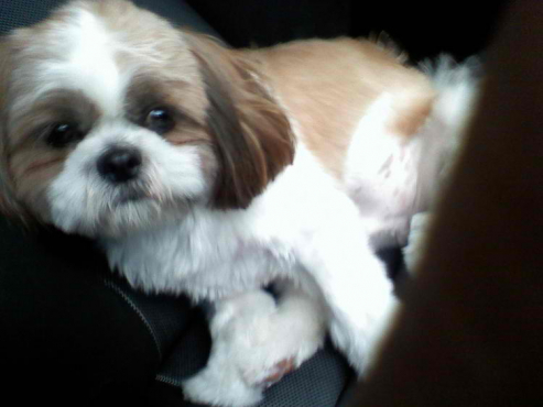 Adorable Male Shih Tzu puppy for adoption-11 weeks old