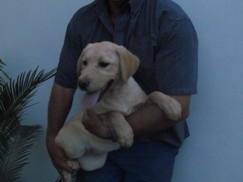 Yellow and black Labrador puppies for sale