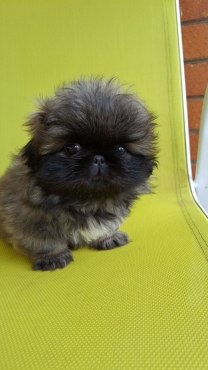 Pekingese Pedigree