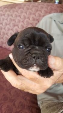 French Bulldogs male puppies for sale