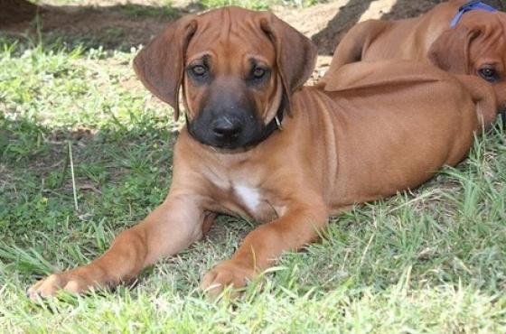 Rhodesian Ridgeback Puppies Purebred