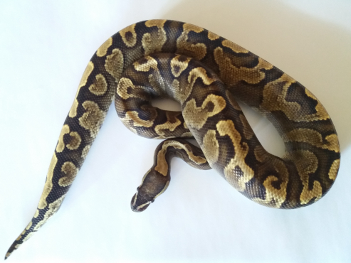 GHI Yellow Belly Ball Python
