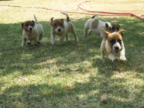4 cute Jack Russel Puppies for sale