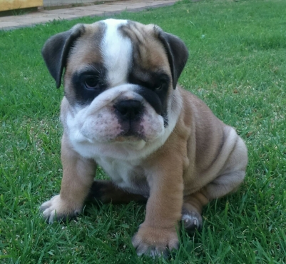 English bulldog pups