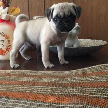 2 Beautiful Black and 1 Apricot Pug Pups - R3200each