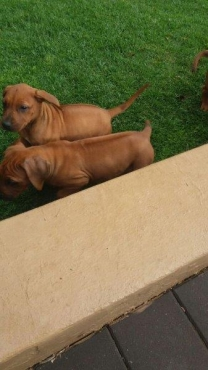 Purebred Rhodesian Ridgeback puppies available