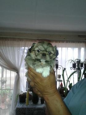 Pekinese puppies
