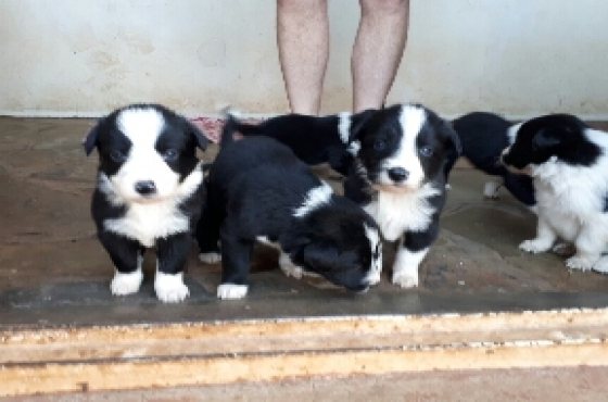 Border Collie pups