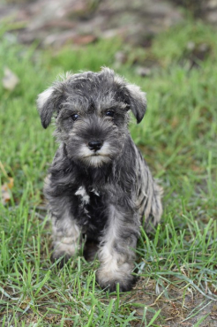 Pure Bred Miniature Schnauzers Puppies