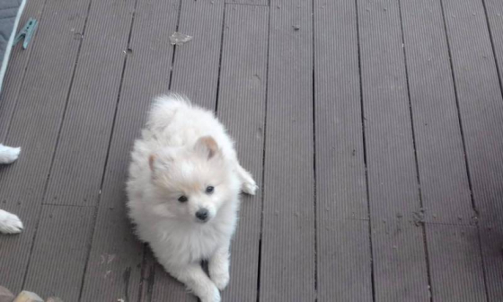 2 Snuggler Toy Pom Puppies( Pomeranian)