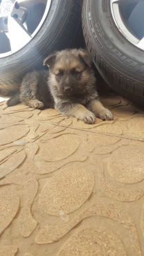 German shappered puppies for sale
